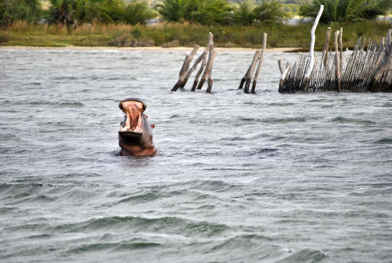 Hippo in Kosi lake with fish trap in the background