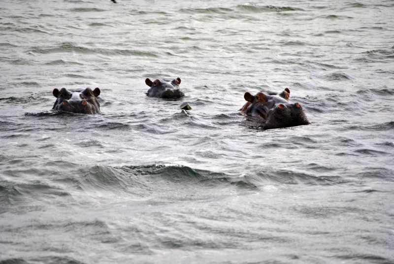 Hippos wallowing in Kosi lake system, Kosi Bay
