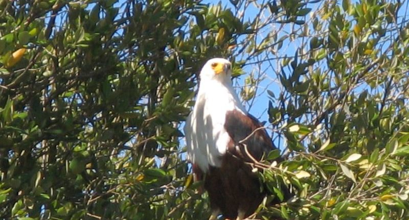 African fish eagle at Kosi Bay estuary