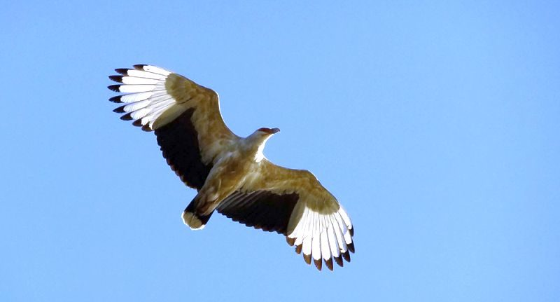 Activities in Kosi Bay - Birding is a wonderful activity at Kosi Bay Mouth - View the rare palm-nut vulture