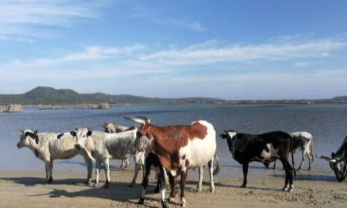 nGuni Cattle at Kosi Bay Mouth
